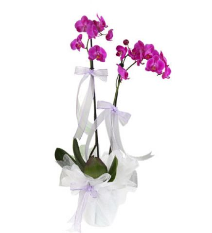mor orkidem 3