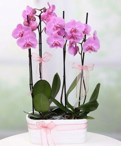 mor orkidem 2li